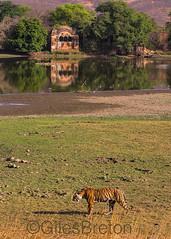 TIG01554GB_1 (giles.breton) Tags: india tiger tigers endangered ranthambhore panthera threatened andyrouse ranthambhorenationalpark pantheratigristigris royalbengaltiger dickysingh