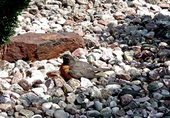 ** Une urgence aviaire ** (Impatience_1) Tags: bird animal explorer m explore oiseau americanrobin impatience turdusmigratorius xplor merledamrique
