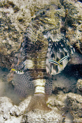 Lion fish, puffer, and a few cleaner wrasse (3scapePhotos) Tags: africa tanzania animal animals cleaner continent diving fish indian island lion lionfish ocean puffer safari scuba tropical underwater vertical wrasse zanzibar
