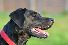 I'm Listening..... (MWBee) Tags: dog black warrington nikon labrador cheshire moore d750 blacklabrador moorecameraclub mwbee