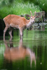 A Deer Reflecting (mjsearle121) Tags: water animals reflections stag wildlife surrey deer fullframe fx bushypark matthewsearle sigma150500mm mjsearle121 nikond610