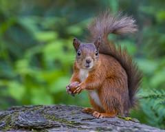 My Snack (jc's i) Tags: squirrel scotland nikon ps cc nik dfine 2 tentsmuir nnr