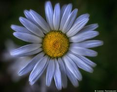 Daisy Daisy (mjardeen) Tags: life white plant flower texture mamiya yellow yard garden petals pattern outdoor vibrant 55mm m42 daisy pollen sekor nikcolorefex 18 mamiyasekor55mm18