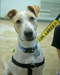 Expo_06 (AbbyB.) Tags: dog pet animal newjersey canine doggy shelter shelterpet petphotography easthanovernj mtpleasantanimalshelter