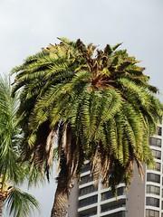 Palm: Boron (B) deficiency (Scot Nelson) Tags: b palm foliage boron deficiency