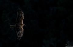 Black Series 04 (Black Stallion Photography) Tags: newzealand brown black bird photography wings rotorua open wildlife flight prey wingspan stallion australasian harrier kahu igallopfree