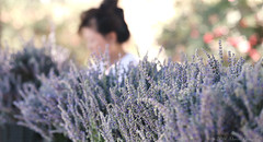 12th Annual Lavender Festival, Cherry Valley 6.17.16 5 (Marcie Gonzalez) Tags: california county ca flowers usa flower color field festival america cherry botanical photography us photo purple riverside farm united north harvest lavender calif resort southern highland socal cal springs valley fields botanic farms states gonzalez marcie beaumont purples so highlandspringsresort 123ranch