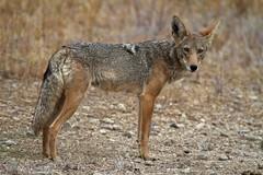 Coyote (Joyce Waterman) Tags: california coyote santa mountains animal monica