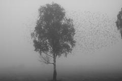 turmoil (Mindaugas Buivydas) Tags: morning trees summer bw mist tree bird birds fog dark morninglight mood moody august starling birch lithuania lietuva sadnature