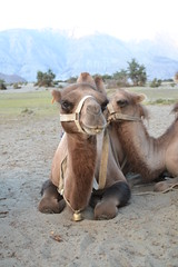 golchen (sootix) Tags: sand camelride bactriancamel