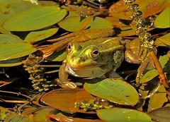 Frosch (heiko.moser) Tags: color nature animal closeup canon tiere wasser outdoor natur natura frog grn teich frosch animale lurch nahaufnahme tier discover entdecken