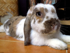 Peppi (* Snowflakes *) Tags: bunny love peppi ariete sweet aries animal pet relax coniglio conigli