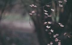 Blossom. (Leon.Antonio.James) Tags: 35mm 50mm 35mmfilm analog analogue ae1 beliveinfilm buyfilmnotmegapixels bokeh canon canonae1 color cinematic dustgrainandscratch expired film filmisnotdead fuji grain ishootfilm ilovefilm ifyouleave leonantoniojames longlivefilm light pastel nature shootfilmstaypoor summer