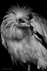 Schmutzgeier / egyptian vulture / Neophron percnopterus (AchimSchmidt) Tags: blackandwhite bw egyptian sw vulture schwarzweiss birdofprey vogel geier neophron percnopterus greifvogel schmutzgeier