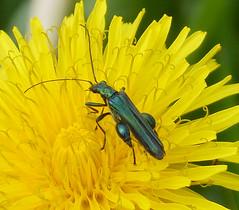Oedemera nobilis. Male (gailhampshire) Tags: male nobilis oedemera