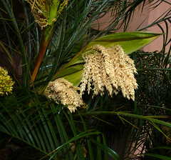 mother's day 2016 on galveston island,    palm (nolehace) Tags: sanfrancisco plant galveston flower tree island spring day texas tx palm mothers bloom tejas 2016 516 nolehace fz35