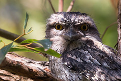 Miss Tawny (ImagesByLin) Tags: bird canon eyes australian feathers textures gumtree tawnyfrogmouth