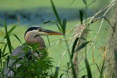 Great Blue Heron DSC_0244 (blthornburgh) Tags: bird heron nature florida blueheron lakeland greatblueheron lakelandflorida cbbr thornburgh circlebbarreserve