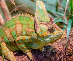 XT1F6487 (James Ito) Tags: england places longleat chameleon longleatsafaripark