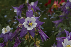 Rain on Columbine (brucetopher) Tags: flowers flower love wet water beauty rain garden season hope spring colorado colorful purple bright thoughtful rainy passion raindrops droplet strong columbine waterdrops springflowers raindrop sincere purpleflowers hopeful