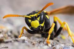 Muy cerca (Sachada2010) Tags: naturaleza macro nature canon insect wasp martin wildlife 100mm galicia l javier f28 insecto avispa 60d sachada sachada2010