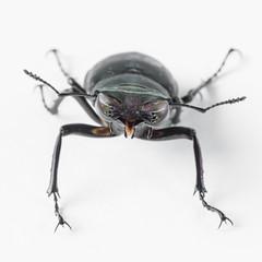 Stagbeetle 3 (Jeaunse23) Tags: macro beetle stagbeetle coleoptera lucanuscervus