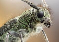 Opsilia coerulescens (Sebastin J.L) Tags: macro canon insect beetle longhorn reversedlens insecto macrophotography cerambycidae macrofotografa extensiontubes ledlight pentaxbellows cerambcidos konicahexanon40mm opsiliacoerulescens zerenestacker 7dmk2 studiostack fieldstack