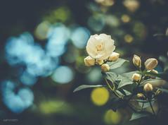 (N.H. || Photography) Tags: blue summer sky brown flower macro tree green nature rose closeup spring dof bokeh 10 olympus 60mm em makro f28 omd mzuiko