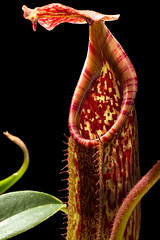 Nepenthes maxima (BE eymae clone) (Hejemoni (@fbauzonx on Instagram)) Tags: lighting light shadow color texture nature lowkey pitcher carnivorous nepenthes maxima pitcherplant carnivorousplant strobist