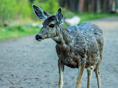 mule deer - banf NP, canada (AB) 6 (Russell Scott Images) Tags: canada mountains rocky ab canadian alberta banff banffnationalpark muledeerodocoileushemionus