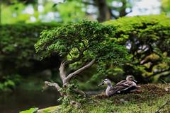 What Ducks Under a Bonsai? (KellarW) Tags: kenrokuengarden kanazawa kenrokuen japan canon135mmf2l canon5diii 5diii 5dmarkiii 5dmkiii ducks bonsai bonsaitree zengarden mossgarden ducksnapping napping twoducks twoducksnapping ducksunder duckunder peace peaceful quiet calm calming relax relaxing