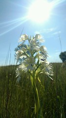 Federally Threatened Prairie Fringed Orchid (U.S. Fish and Wildlife Service - Midwest Region) Tags: threatened threatenedplant plant plants western prairiefringedorchid flower flowers bloom blooming blooms orchid prairie glacialridge nwr refuge nationalwildliferefuge summer july 2016 survey