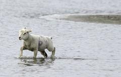 lamb (sueandgraeme) Tags: lamb leightonmoss