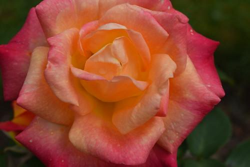 A Multi Coloured Rose !