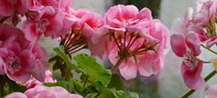 Pink Pelargoniums (pinkpebbleperson) Tags: uk pink plants beach coast scotland atlantic unesco pot highland geology sutherland windowsill durness ullapool capewrath assynt pelargoniums geopark pinkpelargoniums