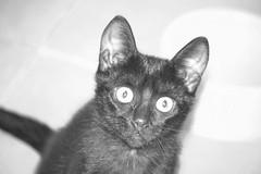 Sorprendida por el flash. (Yoly_Ali.) Tags: kitten negra gatita catblack