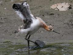 Avocet Chick Stretching It's Wings (fethers1) Tags: bird ngc npc shorebird coloradowildlife belmarpark belmarparklake