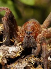 Tegenaria domestica (mamd_) Tags: naturaleza macro canon ojos patas nikkor boca detalles insecto bello pelos micronikkor pk13 colmillos arcnido 55mmf28 macrofotografa macroextremo eos1200d eosrebelt5