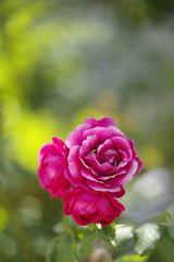 roses from my garden (Capturedbyhunter) Tags: auto portugal rose garden pentax bokeh 14 rosa 55mm jardim santarm fernando 55 marques 114 chinon k1 ribatejo coruche caador fajarda