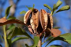 DSC_4632 (MargaretDonald) Tags: seeds ruth seedpods waratah proteaceae telopeaspeciosissima bluemountainsnp 03072016