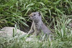 Ground Squirrel, Grand Teton National Park (HDRob) Tags: groundsquirrel squirrel grandtetonnationalpark grandtetons wildlife