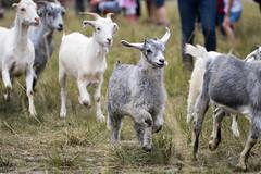 Running of the goats (begineerphotos) Tags: calgary goat goats alberta 15challengeswinner weedeatinggoats