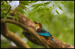 White Throated King Fisher (bodhijobs) Tags: kingfisher eos 7d ef100400mm lodi garden new delhi