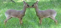 Dik-Dik Kiss (Mel's Looking Glass) Tags: kiss small deer antelope dikdik