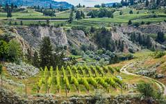 2016 - Road Trip - Penticton BC - 7 of 8 (Ted's photos - For Me & You) Tags: vines nikon vineyards grapes cropped vignetting naramata grapevines 2016 naramatabc tedmcgrath cans2s tedsphotos nikonfx nikond750