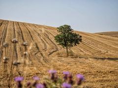 la campagna dopo la mietitura (Explore) (albygent Alberto Gentile) Tags: campagna olympus albero countryside sole