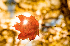 Falling Leaf (borisss1982) Tags: autumn sun tree fall leaves sunshine yellow forest canon star maple bokeh laub herbst gelb blatt sonne wald baum flair sonnenstrahlen ahorn sonnenlicht sonnenstern friendlychallenges borisss1982 borisjordanphotography