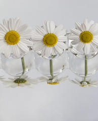 IMG_6833Three Little Maids (Alisonashton1) Tags: white reflection glass daisies three mirrorimage whiteflowers threeflowers leonardofibonacci