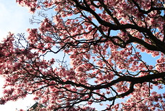 Magnolias in the Sky, May (marylea) Tags: pink flowers catholic michigan blossoms may annarbor magnolia catholicchurch blooms 2013 stthomasaa stthomastheapostlecatholicchurch