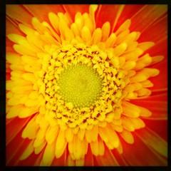 FLOWER! (sterno_yankees) Tags: pink orange plants flower macro colors leaves yellow nikon purple bees strawberries stems raspberries hipstamatic uploaded:by=flickrmobile flickriosapp:filter=nofilter